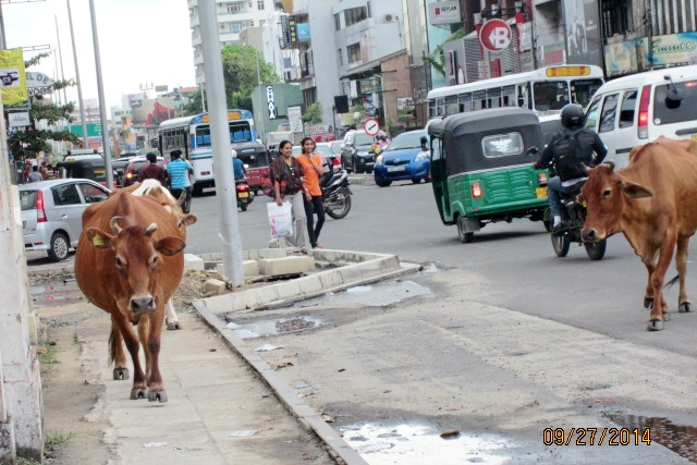 Who has the right of way - Bull, Bike, Car, Pedestrians